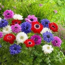 Анемона. Насчитывает бесконечное множество расцветок и форм бутонов.