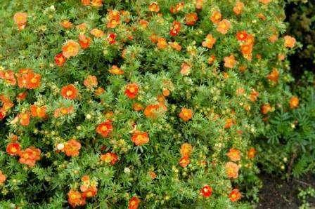 Лапчатка. Цветет все лето вплоть до осенних заморозков. Растение неприхотливо, но не любит сухость.