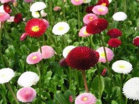 Маргаритки. Очаровательные цветочки различного строения и расцветок, которые сеют в мае-июне.