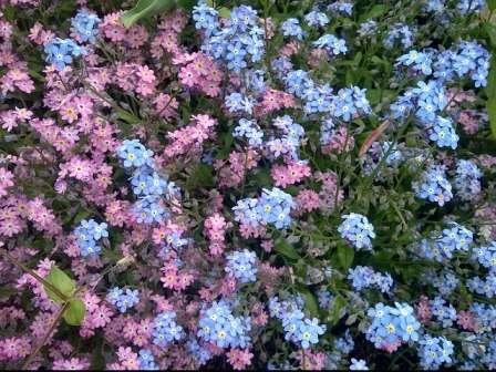 Незабудки. Великолепные голубые, розовые или белые цветочки (всего насчитывается около 50 сортов) порадуют цветением с конца весны до середины лета.