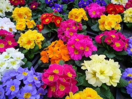 Примула. Цветет ранней весной, создавая удивительное зрелище.