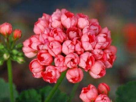 Особенной нежностью отличается герань тюльпановидная, фото, уход и описание которой вы найдете ниже.