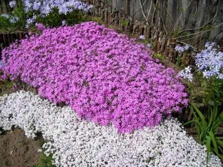 Флокс. Неприхотливые и долгоцветущие флоксы — любимцы садоводов.