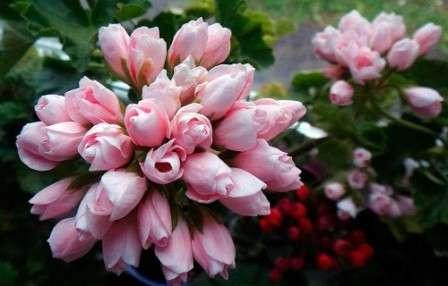 Даже если вы не являетесь опытным цветоводом или фермером и не знаете о выращивании растений ровным счетом ничего, с помощью наших советов вы сможете радоваться красоте тюльпановидной герани в собственном доме.