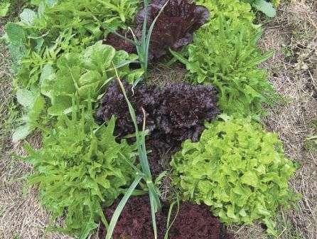 Популярно высаживание чеснока рядом с грядками моркови.