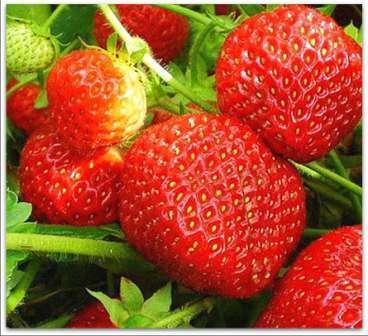 Заря В описании сорта производитель указывает, что он пригоден для выращивания даже в Белоруссии.