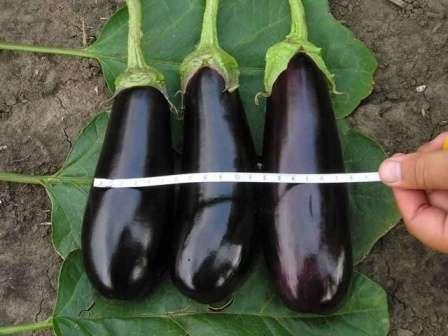 Продолговатые темно-фиолетовые плоды не содержат нотки горечи во вкусе.