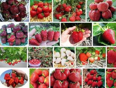 Разумной будет покупка сразу нескольких сортов с разными сроками созревания, что продлит период наслаждения прекрасным вкусом ягод.