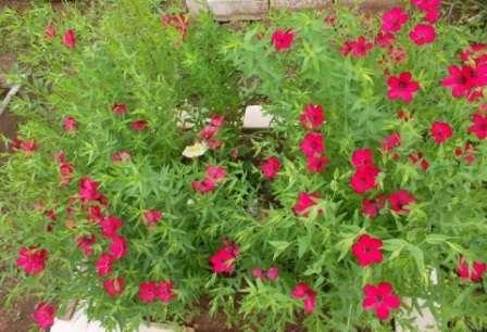 Лен крупноцветный. Однолетник, который часто встречается в садах. Выглядит очень мило, цветет все лето, неприхотлив.