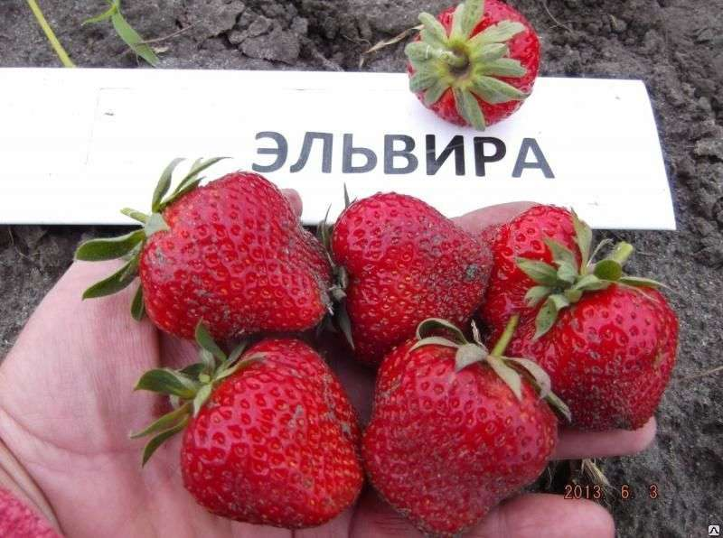 Эльвира Описание Эльвиры стандартное: крупные красные ягоды, приятный вкус, возможность успешной транспортировки.