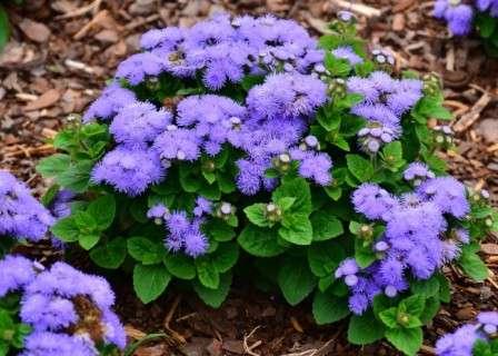 Агератум.Чрезвычайно теплолюбивое растение, выращиваемое у нас только как однолетник.