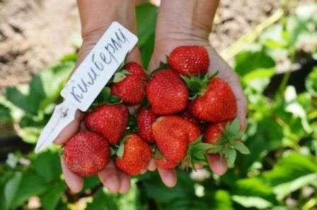имберли В описание сорта входит полный набор положительных характеристик: сладкий вкус, холодостойкость, устойчивость к болезням, высокая урожайность.