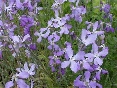 Матиолла. Маленькие нежные цветочки раскрываются только на ночь, но издают при этом тончайший аромат.