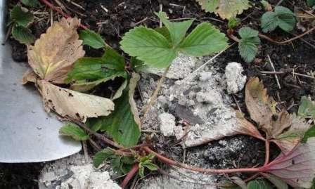 Если у вас хорошая по составу почва, основательное внесение органики не стоит проводить каждый год.