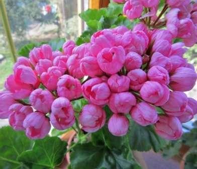 Семена тюльпановидной пеларгонии не всегда легко купить.