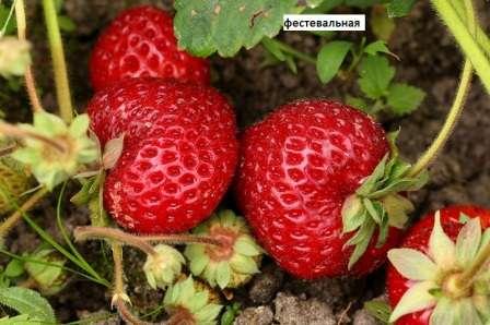 Фестивальная Среднеспелая садовая клубника, отличающаяся хорошим плодоношением, сладким вкусом ягод и устойчивость к низким температурам.