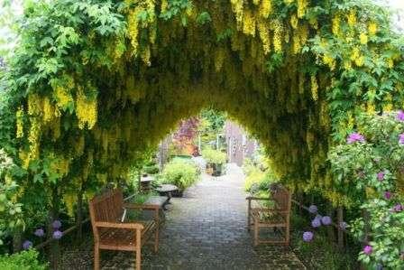 Бобовник садовый. Красивый кустарник с опущенными плетями и ядовитыми плодами.