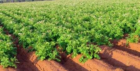 Сегодня поговорим о том, что можно сажать после картофеля на следующий год. Таблица, которую мы разместили на этой странице, поможет вам распланировать посадку овощей согласно правилам севооборота.