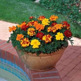 Бархатцы. Без них многие садоводы не представляют полноценного цветника. Среди большого разнообразия сортов есть много низкорослых.