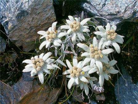 Эдельвейс. Горный цветок, который подойдет для альпийской горки.