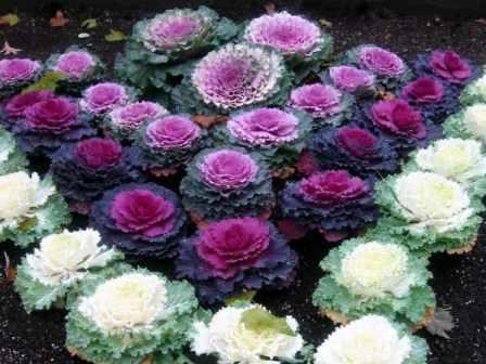 Декоративная капуста. Рыхлый кочан похож на огромный экзотический цветок. Удаляя нижние листья можно получить своеобразнве розочки на тонких ножках.