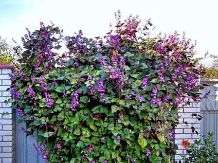 Бобы гиацинтовые. Яркое украшение для южных стен зданий. Красивое цветение сменяется образованием пестрых стручков в конце лета.