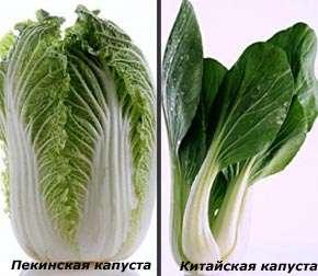 С помощью фотографии вы можете сами проанализировать внешние отличия китайской и пекинской капусты.