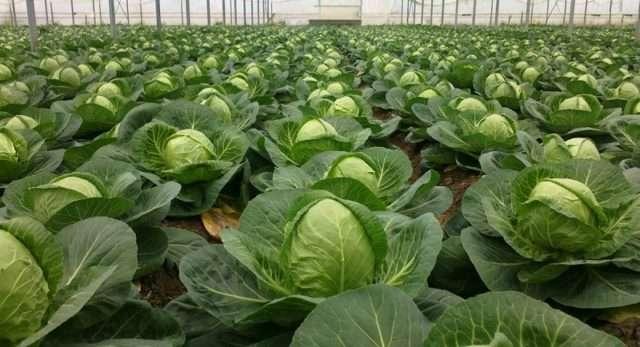 Выращивание капусты в домашних условиях