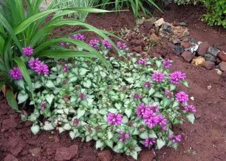 Яснотка. Почвопокровное растение, удивляющее своим быстрым развитием и неприхотливостью.