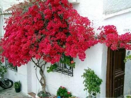 Бытует взгляд, что лианы сохраняют под листьями влажность, способствуя разрушению стен здания.