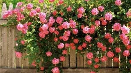 Плетистые розы. Наиболее часто применяемые для вертикальных цветников лианы.