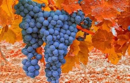 Оправдана ли осенняя подкормка винограда в зиму? Сроки и средства для питания культуры должен знать каждый, кто взялся за его выращивание.