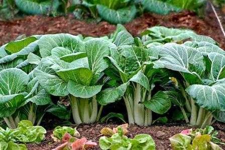 Кроме того, поговорим о том, как происходит выращивание китайской капусты в открытом грунте.
