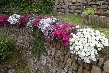 Петуния. Чрезвычайно популярное растение с красивыми цветочками.