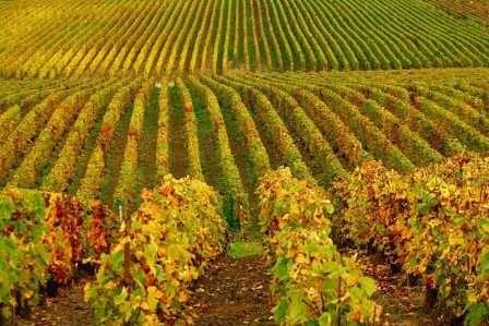 Всем известно, что в холодную пору года виноград нуждается только в хорошем укрытии от морозов — он переходит в фазу сна.