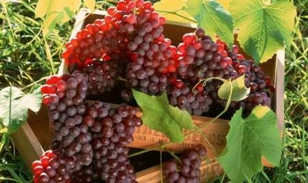 Например, широко известна эффективная подкормка для винограда, созданная путем смешения навоза, золы, суперфосфата и небольшого количества сернокислого аммония.