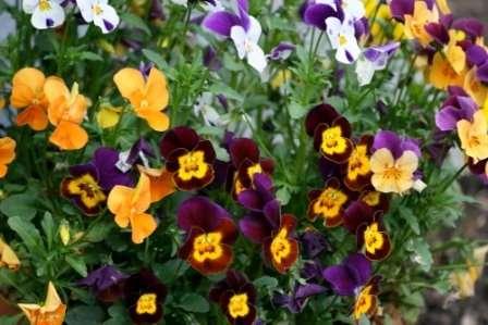 Анютины глазки. Очаровательные пестрые цветочки в форме фиалок украсят любую садовую клумбу.