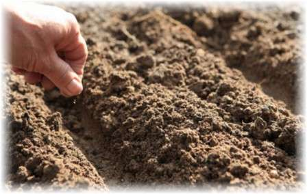 Сделать длинные канавки и негусто посеять семена.