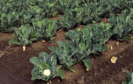 Участок после выращивания любого вида капусты, репы или редьки не подходит для посадки цветной капусты.