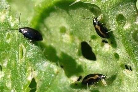 Это мелкое насекомое может нанести серьезный ущерб капусте, поэтому, заметив его, нужно действовать безотлагательно.