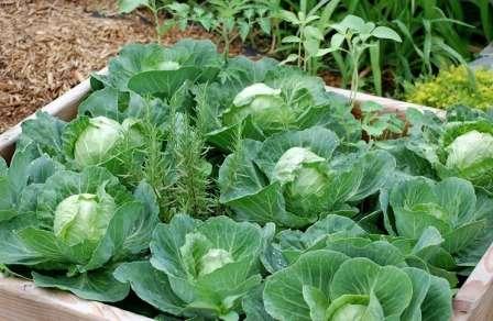 При выращивании ранней капусты войну с вредителями с помощью химических средств не проводят.