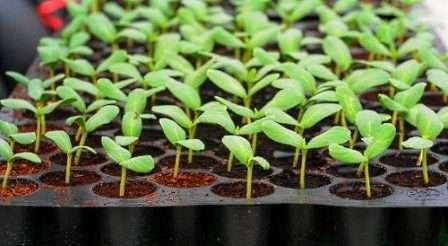 После посева семян емкость обычно накрывают прозрачным материалом и ставят в таком месте, чтобы температура воздуха не была ниже 20 °С.