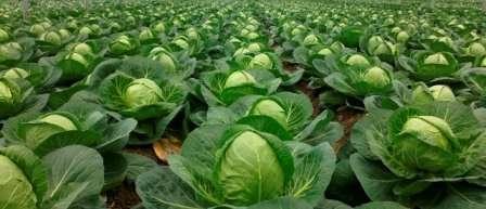 Для посева сразу в грунт сделайте канавки глубиной 1 см и посейте семена с шагом в 20 см.
