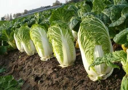 Стоит ли новичку огороднику или свежеиспеченному фермеру браться за выращивание пекинской капусты в открытом грунте?