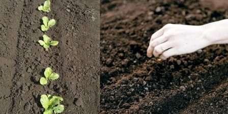 Для посадки семян нужно сделать лунки. Расстояние со всех сторон — 30 см.