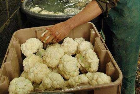 Упаковав соцветия цветной капусты в полиэтиленовый пакет, обрезав предварительно ножку и листья, следует уложить ее в овощной отдел холодильника.