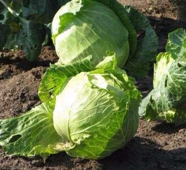 Вы должны заранее определить, сколько капусты вам нужно на лето, какой объем потребуется вашей семье до следующего урожая и какое количество капусты вы будете использовать в переработке.