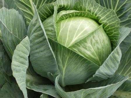Сегодня мы рассмотрим наиболее востребованные в нашем климате сорта капусты — фото с названием. Описание особенностей выращивания культуры поможет вам вырастить поистине знатную капусту в будущем сезоне.