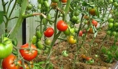 Если вы намерены растить в 2019 году томаты на продажу, то длительность хранения плодов для вас имеет огромное значение.