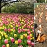 Когда и как посадить тюльпаны весной?